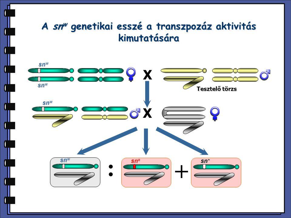 A P citotípus meghatározásában kromoszómális és extra-kromoszómális faktorok is szerepet játszanak DS: diszgenikus sterilitás X X X X DS: 2.2 % DS: 99.8 % DS: 3.9 % DS: 99.5 % DS: 4.2 % DS: 2.2 % DS: 40.4 % DS: 2.4 % G0G0 G1G1 G2G2 P citotípusú anyai öröklődés M citotípusú anyai öröklődés Pre-P