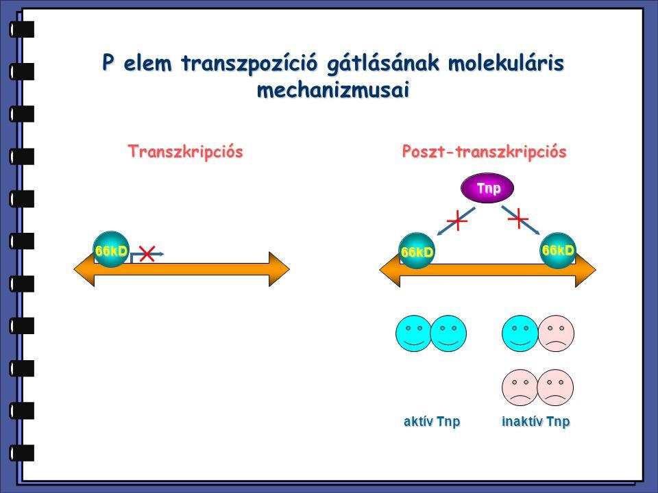 P elem transzpozíció gátlásának molekuláris mechanizmusai 66kD 66kD 66kD Tnp TranszkripciósPoszt-transzkripciós aktív Tnp inaktív Tnp