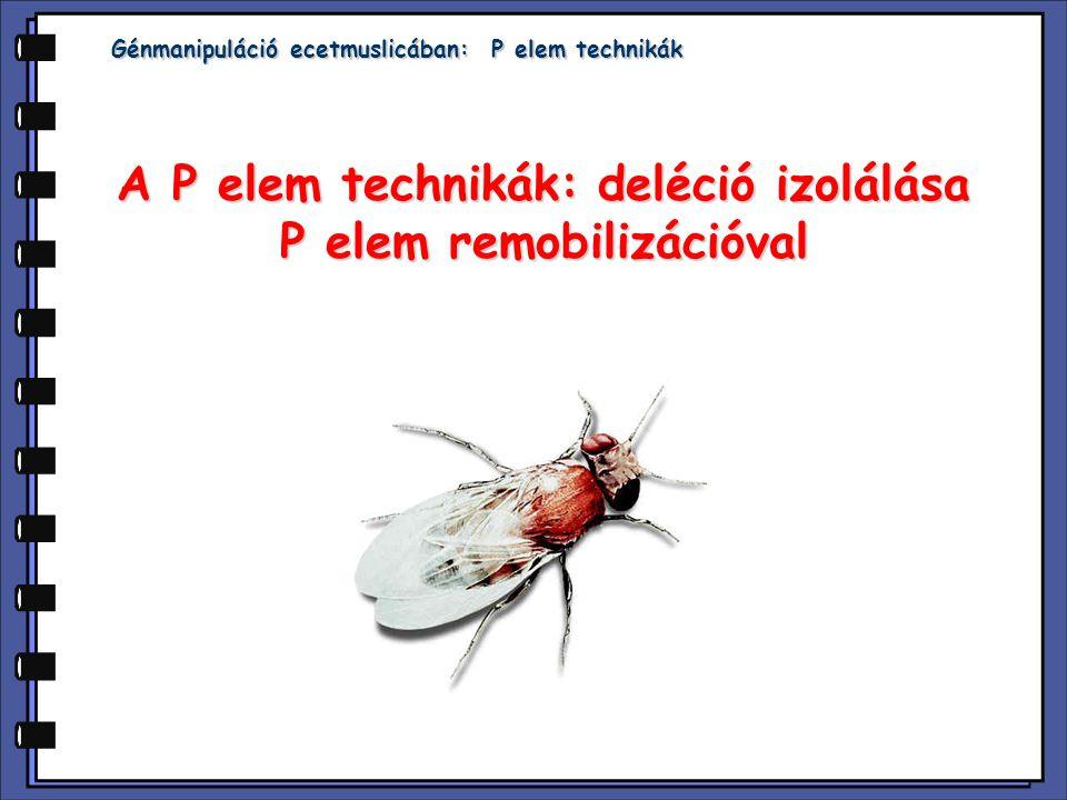  P elem: mozgó genetikai elem- ugrásához transzpozáz szükéges  Vad típusú P elem Laborban használt P elem  P elem mobilizációhoz szükséges: mutátor elem mutátor elem transzpozáz elem transzpozáz elem  Inszerció - nem mindig génbe inszertálódik - lehet a vizsgált gén közelében  Remobilizáció lehet - precíz - nem precíz: inszerció, deléció - nem precíz: inszerció, deléció  Deléciós mutánsok izolálása Bevezetés: