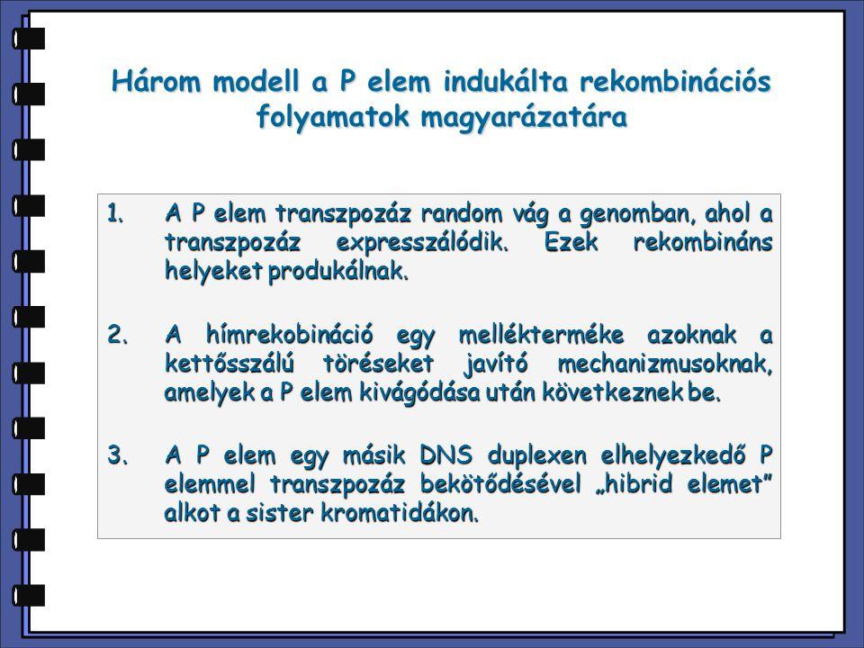 Három modell a P elem indukálta rekombinációs folyamatok magyarázatára 1.A P elem transzpozáz random vág a genomban, ahol a transzpozáz expresszálódik