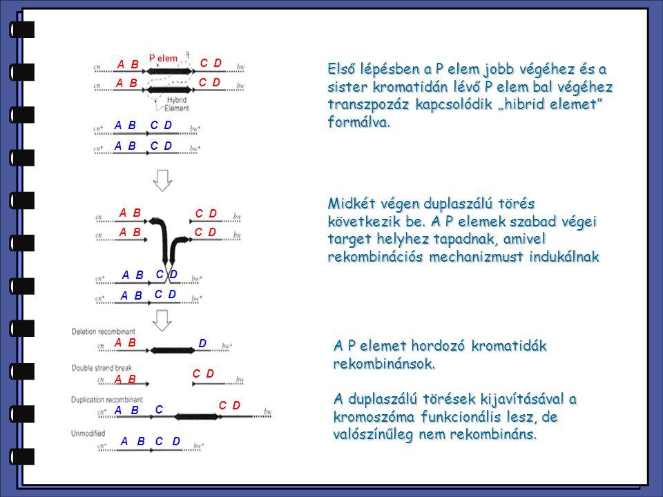 """Első lépésben a P elem jobb végéhez és a sister kromatidán lévő P elem bal végéhez transzpozáz kapcsolódik """"hibrid elemet"""" formálva. Midkét végen dupl"""