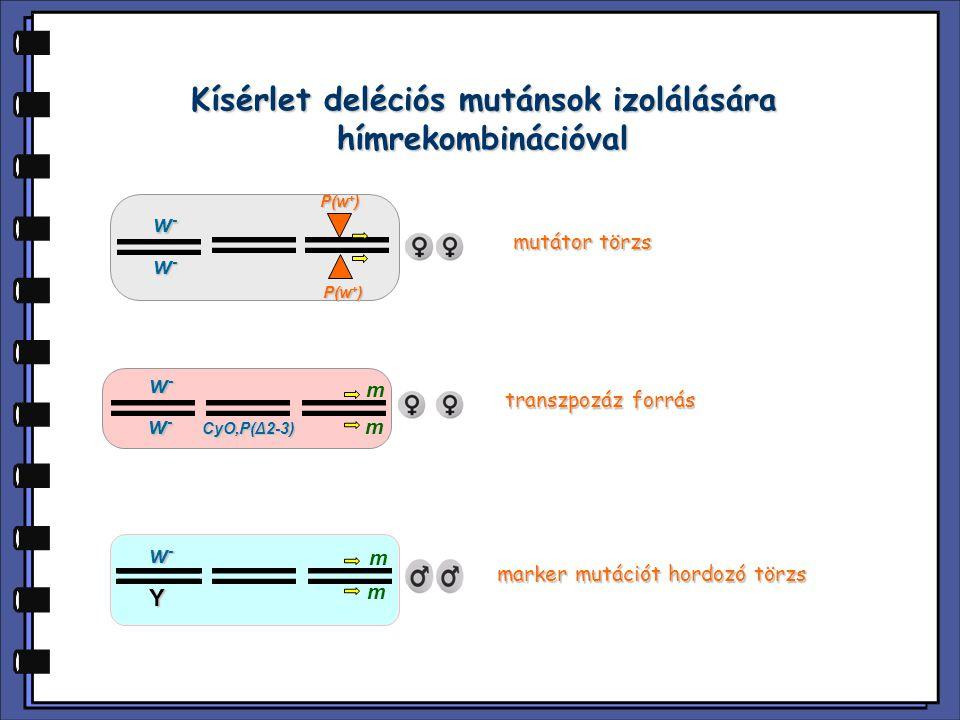 Kísérlet deléciós mutánsok izolálására hímrekombinációval P(w + ) Y w-w-w-w- w-w-w-w- mutátor törzs CyO,P(Δ2-3) transzpozáz forrás w-w-w-w- w-w-w-w- m