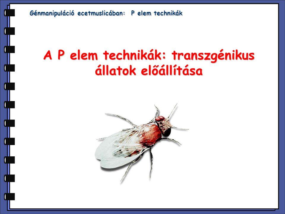 Génmanipuláció ecetmuslicában: P elem technikák A P elem technikák: transzgénikus állatok előállítása