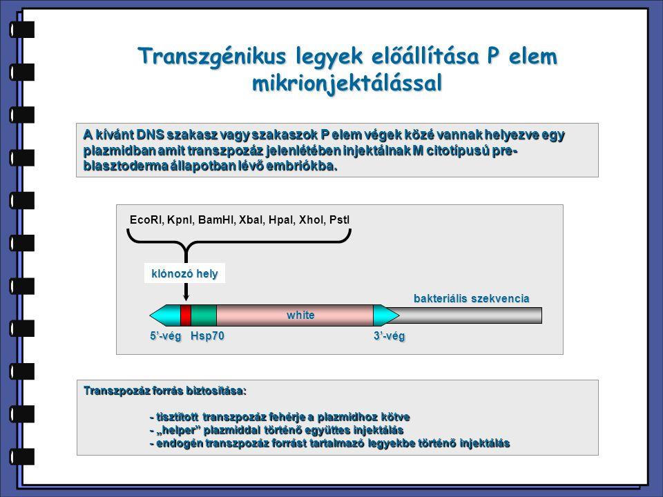 Transzgénikus legyek előállítása P elem mikrionjektálással A kívánt DNS szakasz vagy szakaszok P elem végek közé vannak helyezve egy plazmidban amit t