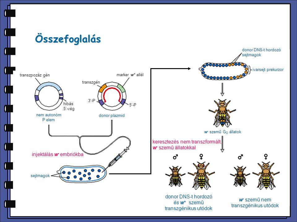 injektálás w - embriókba w - szemű G O állatok keresztezés nem transzformált, w - szemű állatokkal ivarsejt prekurzor donor DNS-t hordozó sejtmagok se