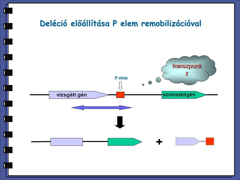 Deléciós mutánsok azonosítása  Fenotípus alapján: létfontosságú génben történt deléció letalitást okoz  PCR-al: megfelelő primerekkel a kapott deléció mérete meghatározható P elem deléció PCR primer vizsgált gén