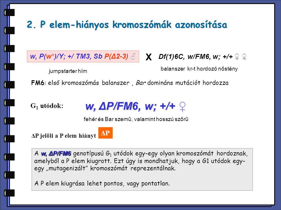 2. P elem-hiányos kromoszómák azonosítása ΔPΔP w, P(w + )/Y; +/ TM3, Sb P(Δ2-3) ♂ Df(1)6C, w/FM6, w; +/+ ♀ ♀ jumpstarter hím balanszer kr-t hordozó nő