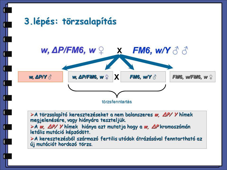 Kísérlet deléciós mutánsok izolálására hímrekombinációval P(w + ) Y w-w-w-w- w-w-w-w- mutátor törzs CyO,P(Δ2-3) transzpozáz forrás w-w-w-w- w-w-w-w- m m marker mutációt hordozó törzs w-w-w-w- m m