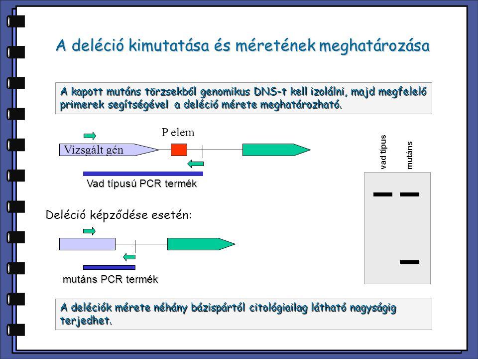 A deléció kimutatása és méretének meghatározása A kapott mutáns törzsekből genomikus DNS-t kell izolálni, majd megfelelő primerek segítségével a deléc