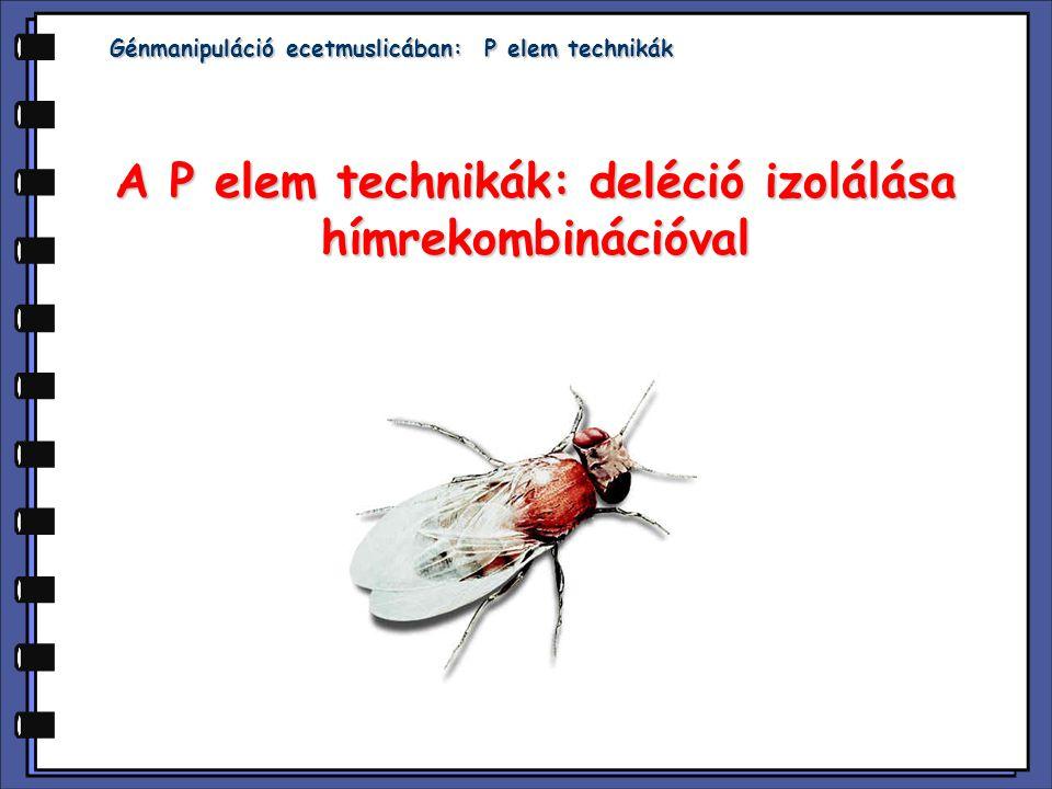 Bevezetés: A P elem mobilizációja crossing overt okoz Drosophila ivar- és szomatikus sejtekben is, ahol rekombináció normálisan nem történik.A P elem mobilizációja crossing overt okoz Drosophila ivar- és szomatikus sejtekben is, ahol rekombináció normálisan nem történik.