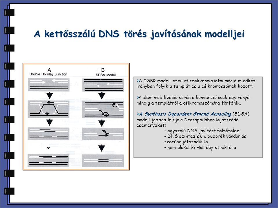 A kettősszálú DNS törés javításának modelljei  A DSBR modell szerint szekvencia információ mindkét irányban folyik a templát és a célkromoszómák között.