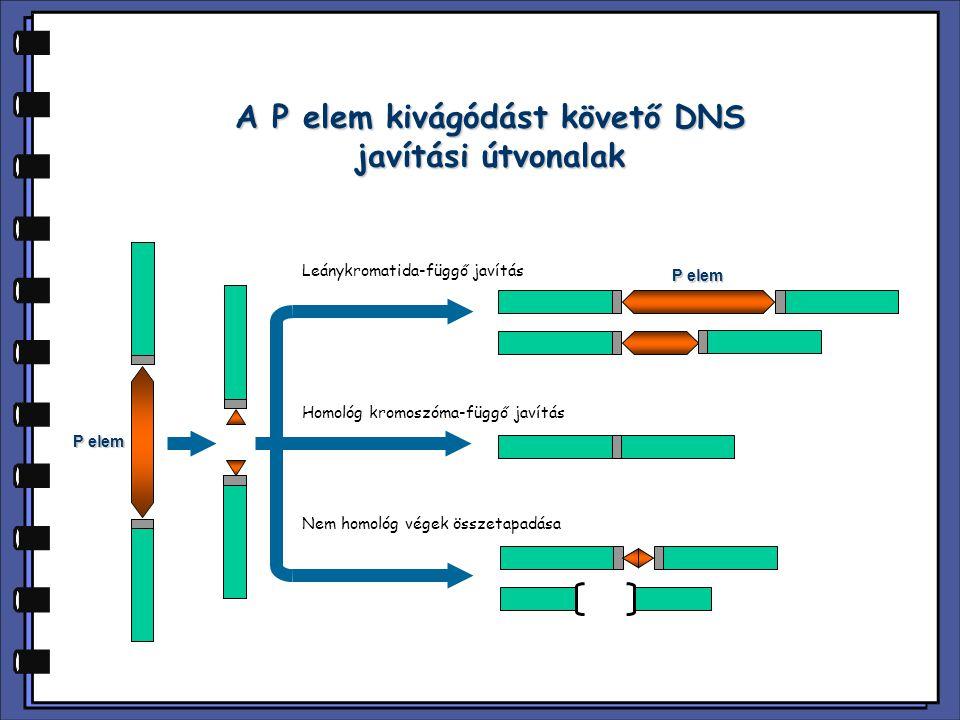 Leánykromatida-függő javítás Homológ kromoszóma-függő javítás P elem Nem homológ végek összetapadása A P elem kivágódást követő DNS javítási útvonalak