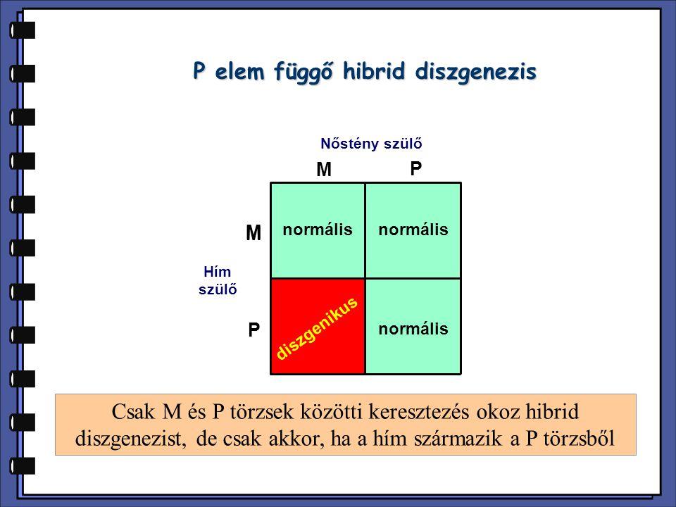 P elem függő hibrid diszgenezis Nőstény szülő Hím szülő M P M M P normális diszgenikus Csak M és P törzsek közötti keresztezés okoz hibrid diszgenezist, de csak akkor, ha a hím származik a P törzsből