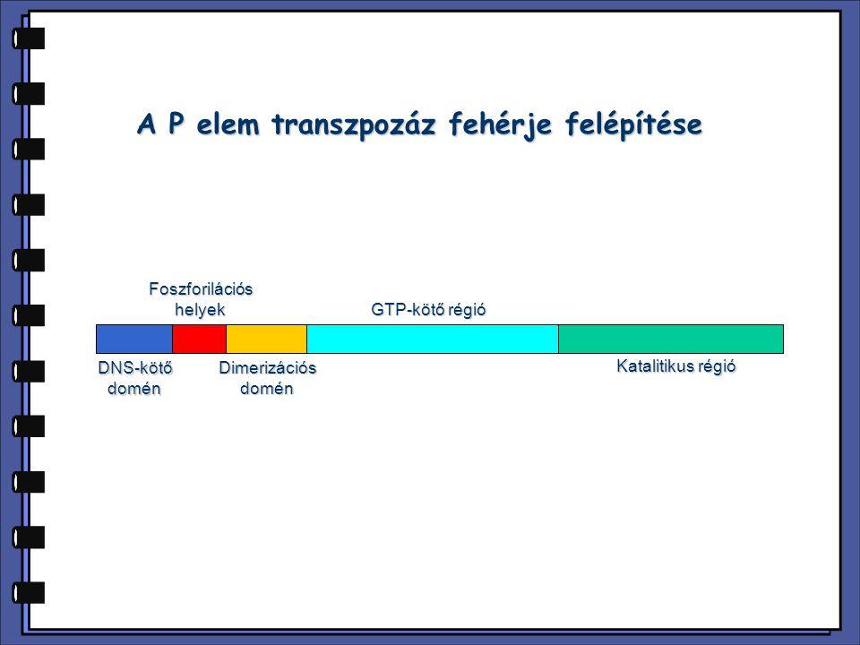 DNS-kötődoménFoszforilációshelyekDimerizációsdomén GTP-kötő régió Katalitikus régió A P elem transzpozáz fehérje felépítése