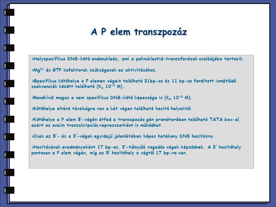 Transzpozáz kötőhelyek a P elemben IRBP 31bp IR 11bp IR Transzpozáz 2763 2877290728552871 IRBP 31bp IR 11bp IR P elem promoter Transzpozáz mRNS 4868 87 131 126136 GAAGTATACACTTAAATTCAG CTTCATATGTGAATTTAAGTC ACGTTAAGTGGATGTCTC TGCAATTCACCTACAGAG 4868 2855 2871 21 bp-ra az 5' IR végtől 9 bp-ra a 3' IR végtől AT A/C CACTTAA TA T/G GTGAATT konszenzus transzpozáz kötőhely