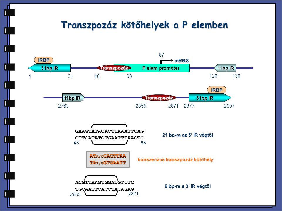 transzpozáz IRBP 8 bp-os inszerciós hely duplikáció 3'-vég5'-vég 31 bp-os IR szekvencia 21 bp-os spacer szekvencia 9 10 bp-os Transzpozáz kötőhely P elem A P elem transzpozoszóma felépítése  A DNS hasítás első lépésében a P elem végek szinapszist alkotnak.