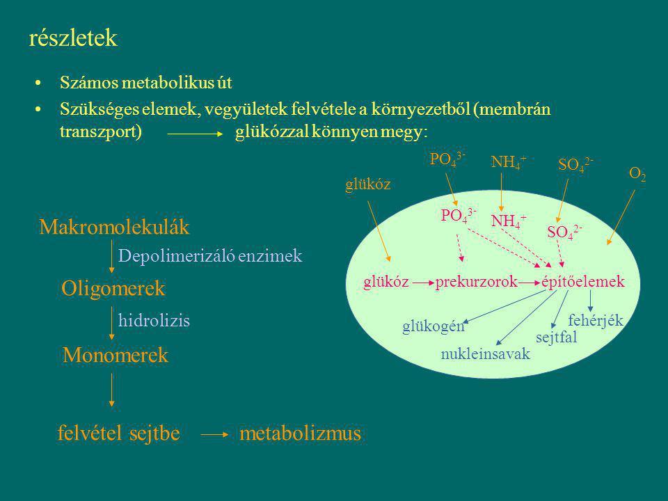 részletek Számos metabolikus út Szükséges elemek, vegyületek felvétele a környezetből (membrán transzport)glükózzal könnyen megy: glükóz prekurzorokép