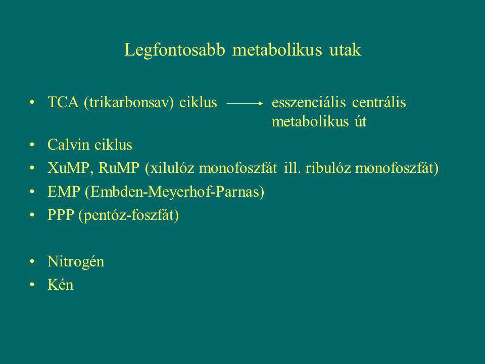 Legfontosabb metabolikus utak TCA (trikarbonsav) ciklusesszenciális centrális metabolikus út Calvin ciklus XuMP, RuMP (xilulóz monofoszfát ill. ribuló