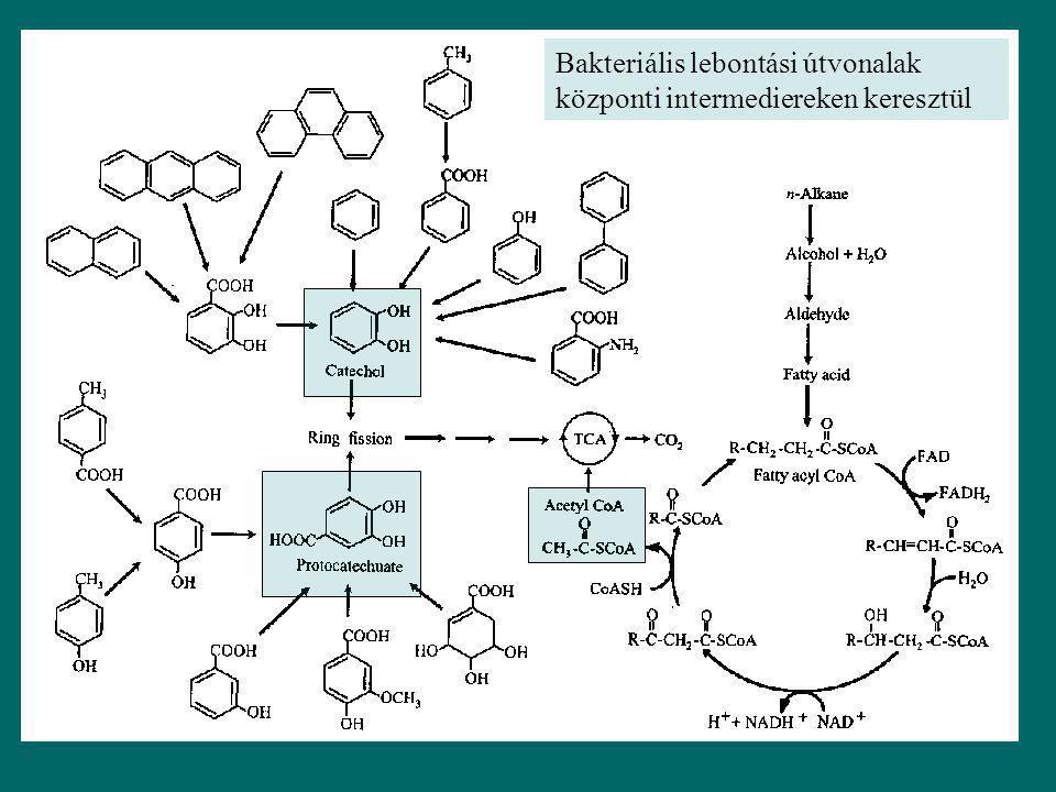 Bakteriális lebontási útvonalak központi intermediereken keresztül