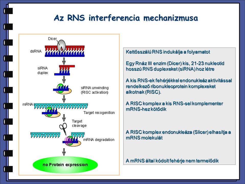 Az RNS interferencia mechanizmusa Kettősszálú RNS indukálja a folyamatot Egy Rnáz III enzim (Dicer) kis, 21-23 nukleotid hosszú RNS duplexeket (siRNA)