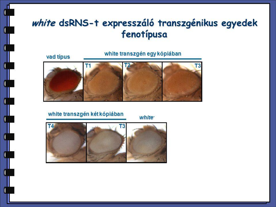 white dsRNS-t expresszáló transzgénikus egyedek fenotípusa vad típus white transzgén egy kópiában white - white transzgén két kópiában T1 T2 T3 T3T4