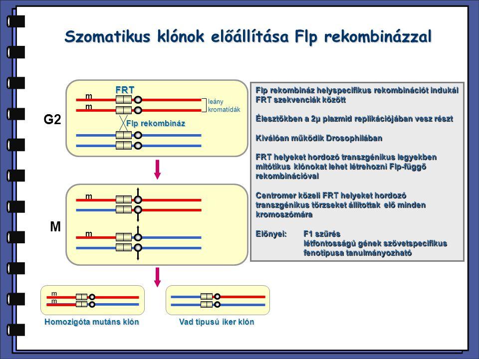 Szomatikus klónok előállítása Flp rekombinázzal FRT Flp rekombináz leánykromatídák G2 M Homozigóta mutáns klón Vad típusú iker klón m m m m m m Flp re