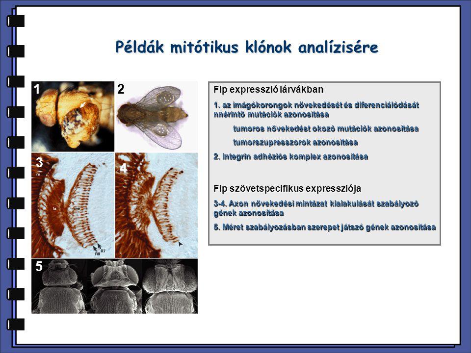 A CD E Példák mitótikus klónok analízisére 1 3 4 5 2 Flp expresszió lárvákban 1. az imágókorongok növekedését és diferenciálódását nnérintő mutációk a