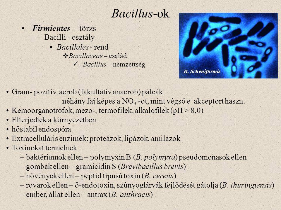 Bacillus-ok Firmicutes – törzs –Bacilli - osztály Bacillales - rend  Bacillaceae – család Bacillus – nemzettség Gram- pozitív, aerob (fakultatív anae