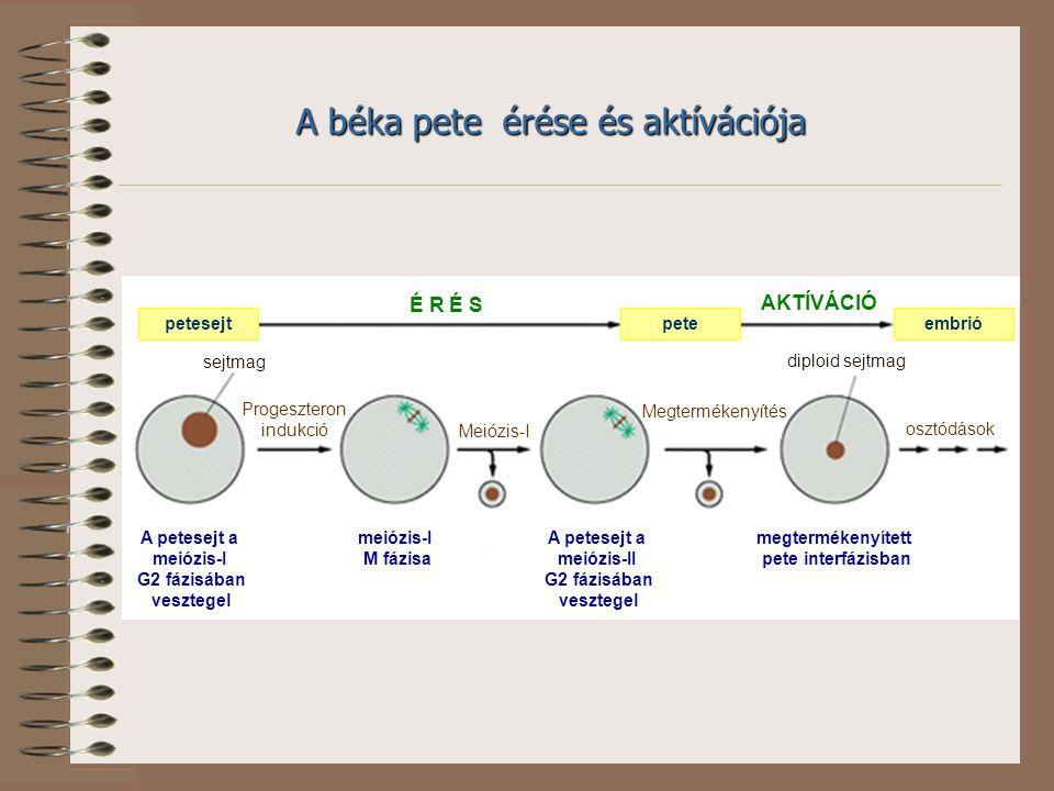 petesejtpeteembrió É R É S AKTÍVÁCIÓ A petesejt a meiózis-I G2 fázisában vesztegel A petesejt a meiózis-II G2 fázisában vesztegel meiózis-I M fázisa megtermékenyített pete interfázisban Progeszteron indukció Meiózis-I Megtermékenyítés osztódások sejtmag diploid sejtmag A béka pete érése és aktívációja