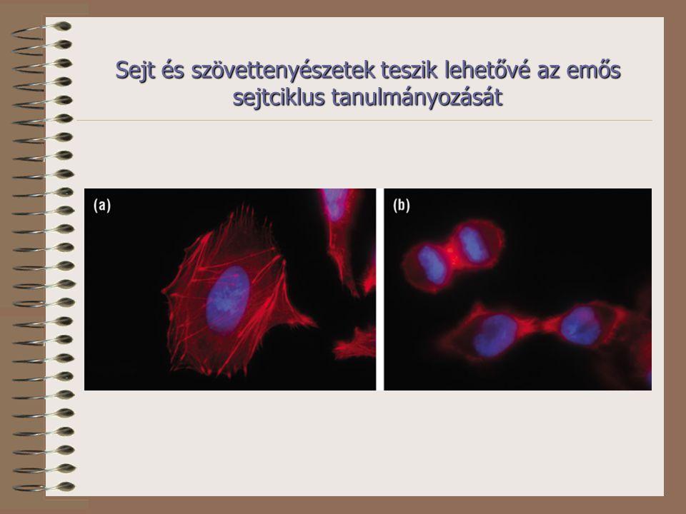Sejt és szövettenyészetek teszik lehetővé az emős sejtciklus tanulmányozását