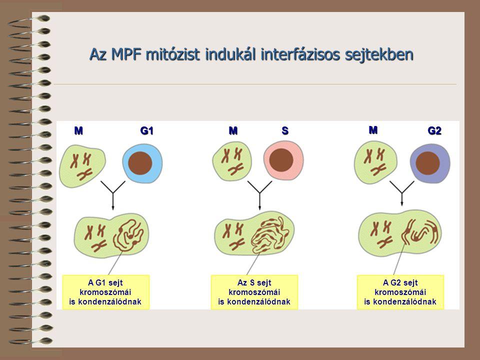 Az MPF mitózist indukál interfázisos sejtekben MMMG1SG2 A G1 sejt kromoszómái is kondenzálódnak Az S sejt kromoszómái is kondenzálódnak A G2 sejt kromoszómái is kondenzálódnak