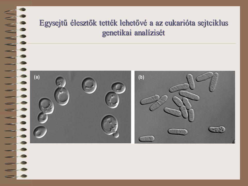 Egysejtű élesztők tették lehetővé a az eukarióta sejtciklus genetikai analízisét