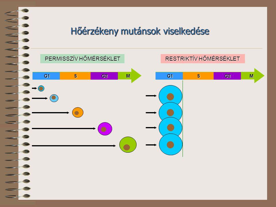 PERMISSZÍV HŐMÉRSÉKLET RESTRIKTÍV HŐMÉRSÉKLET G1G1SSG2G2MM Hőérzékeny mutánsok viselkedése