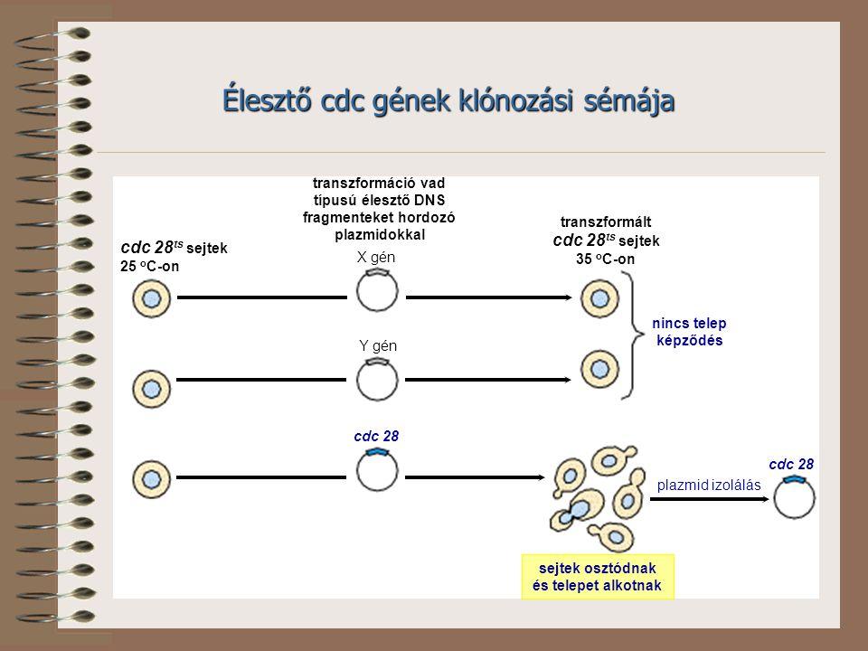 X gén Y gén cdc 28 nincs telep képződés cdc 28 ts sejtek 25 o C-on transzformáció vad típusú élesztő DNS fragmenteket hordozó plazmidokkal transzformált cdc 28 ts sejtek 35 o C-on sejtek osztódnak és telepet alkotnak plazmid izolálás Élesztő cdc gének klónozási sémája