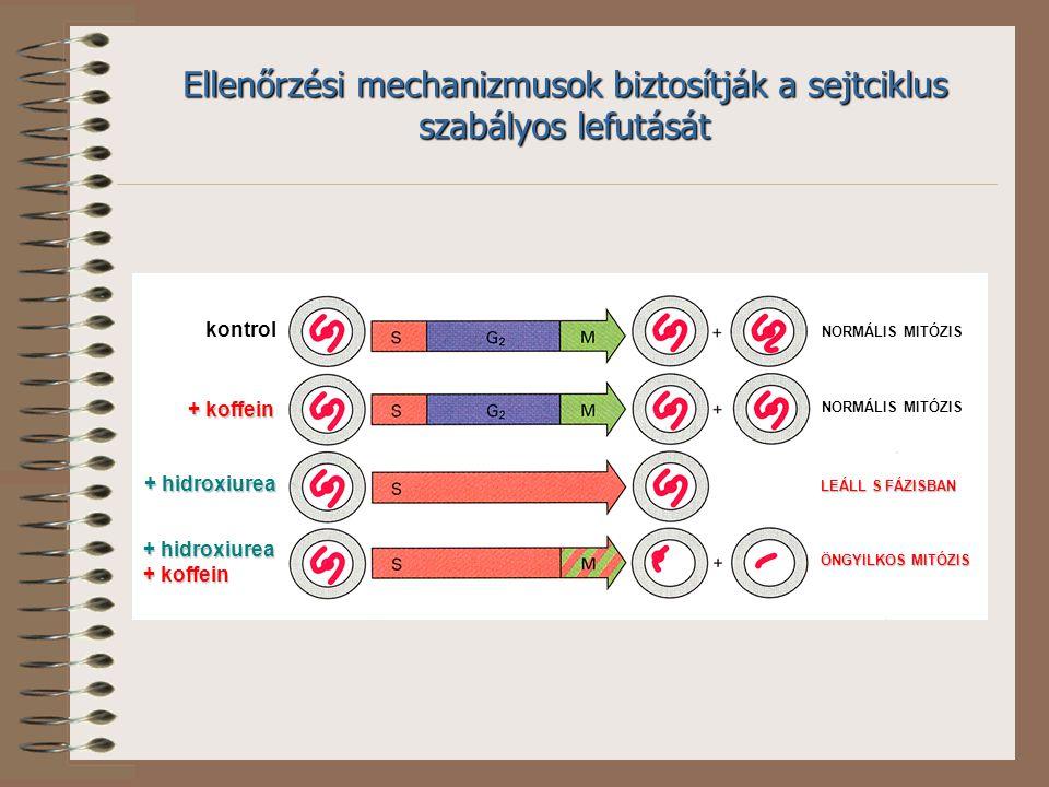 kontrol + koffein + hidroxiurea + koffein NORMÁLIS MITÓZIS LEÁLL S FÁZISBAN ÖNGYILKOS MITÓZIS Ellenőrzési mechanizmusok biztosítják a sejtciklus szabályos lefutását
