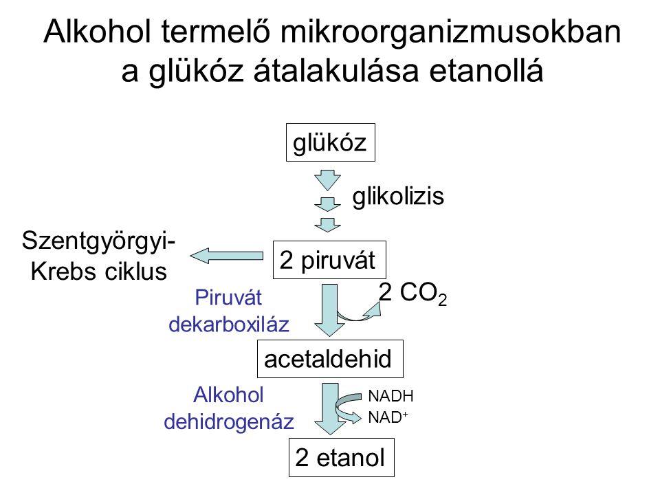 Alkohol termelő mikroorganizmusokban a glükóz átalakulása etanollá glükóz glikolizis 2 piruvát Szentgyörgyi- Krebs ciklus acetaldehid 2 etanol 2 CO 2