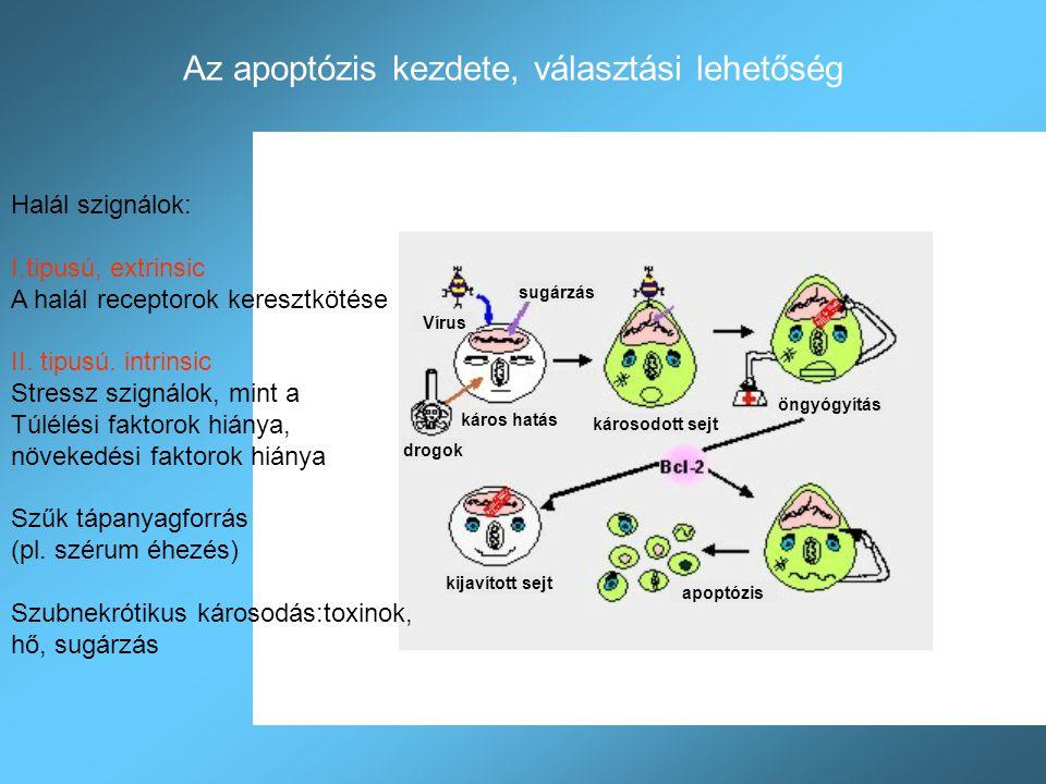 Az apoptózis kezdete, választási lehetőség Halál szignálok: I.tipusú, extrinsic A halál receptorok keresztkötése II. tipusú. intrinsic Stressz szignál