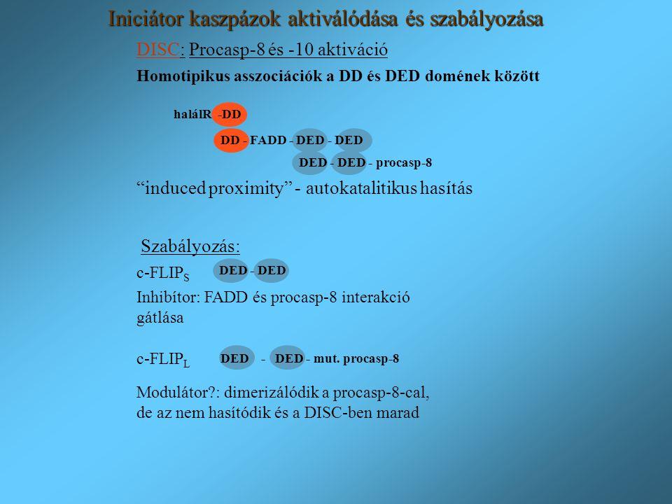 """DISC: Procasp-8 és -10 aktiváció """"induced proximity"""" - autokatalitikus hasítás Inhibítor: FADD és procasp-8 interakció gátlása Modulátor?: dimerizálód"""