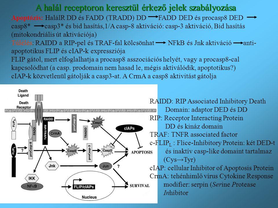 A halál receptoron keresztül érkező jelek szabályozása RAIDD: RIP Associated Inhibitory Death Domain: adaptor DED és DD RIP: Receptor Interacting Prot