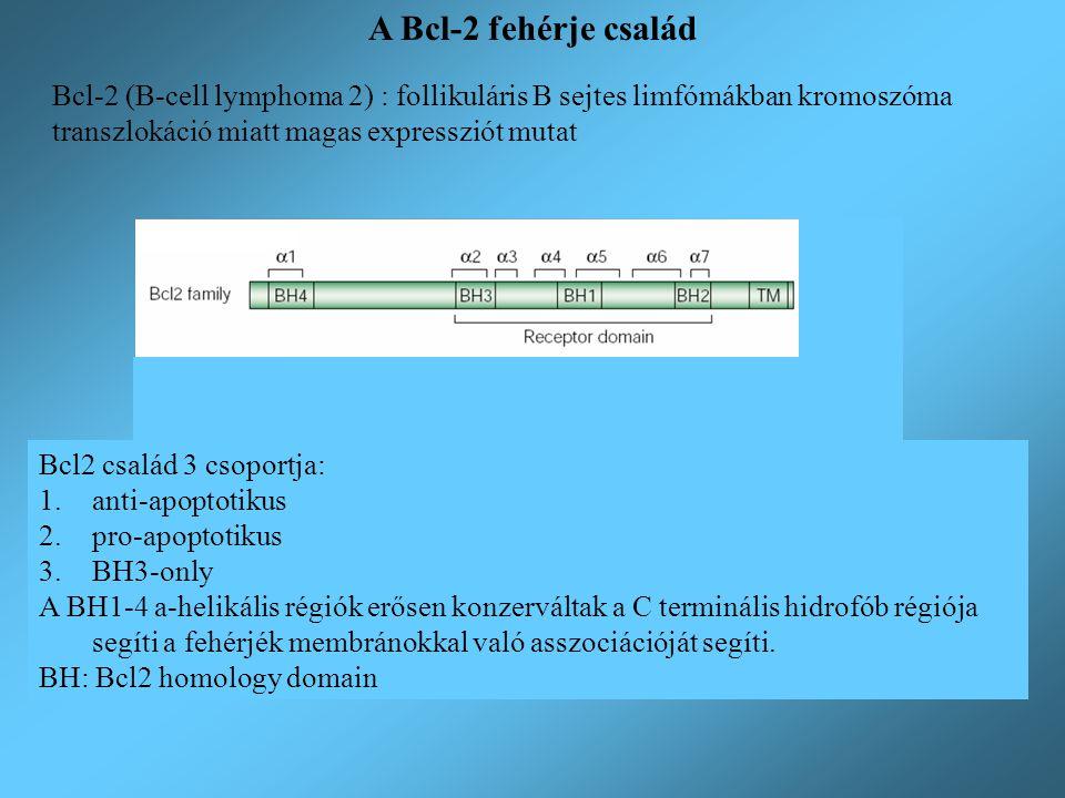 A Bcl-2 fehérje család Bcl-2 (B-cell lymphoma 2) : follikuláris B sejtes limfómákban kromoszóma transzlokáció miatt magas expressziót mutat Bcl2 csalá