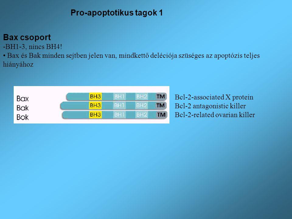 Bax csoport -BH1-3, nincs BH4! Bax és Bak minden sejtben jelen van, mindkettő deléciója szüséges az apoptózis teljes hiányához Bcl-2-associated X prot