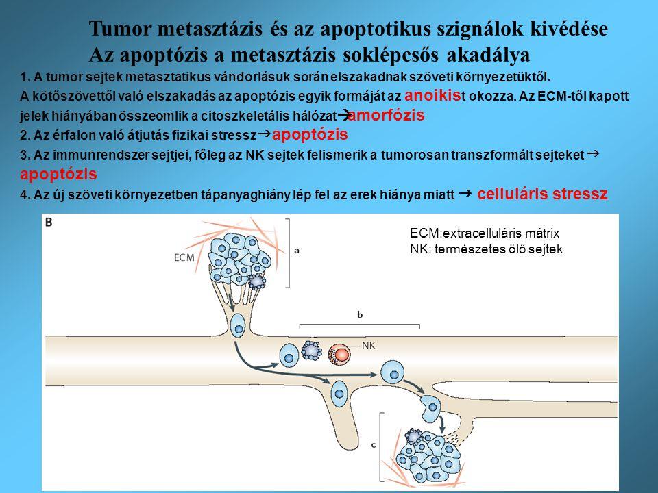 Tumor metasztázis és az apoptotikus szignálok kivédése Az apoptózis a metasztázis soklépcsős akadálya 1. A tumor sejtek metasztatikus vándorlásuk sorá