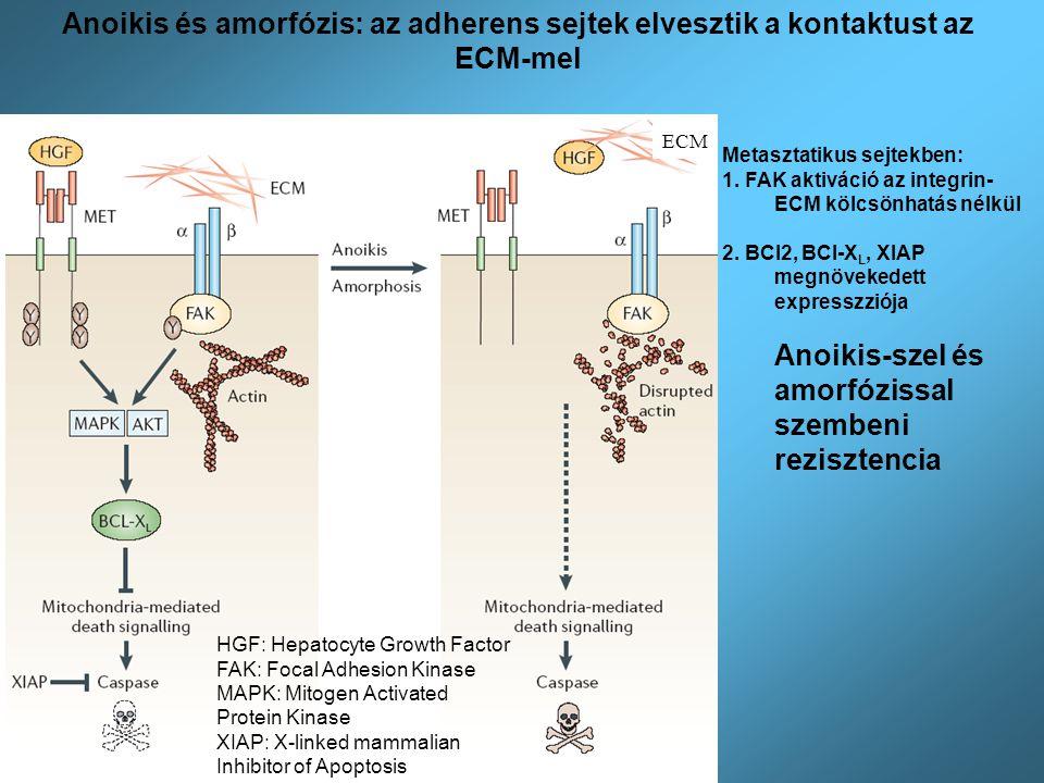 Anoikis és amorfózis: az adherens sejtek elvesztik a kontaktust az ECM-mel HGF: Hepatocyte Growth Factor FAK: Focal Adhesion Kinase MAPK: Mitogen Acti