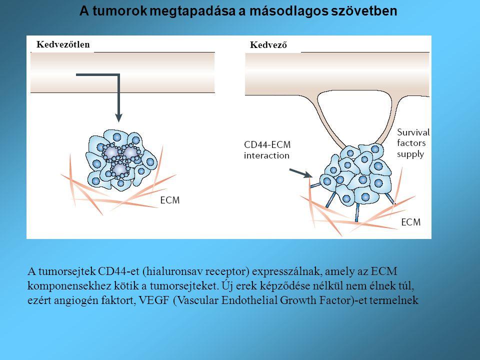 Kedvezőtlen Kedvező A tumorok megtapadása a másodlagos szövetben A tumorsejtek CD44-et (hialuronsav receptor) expresszálnak, amely az ECM komponensekh