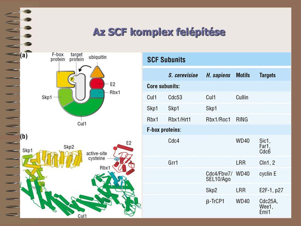 Az SCF komplex felépítése