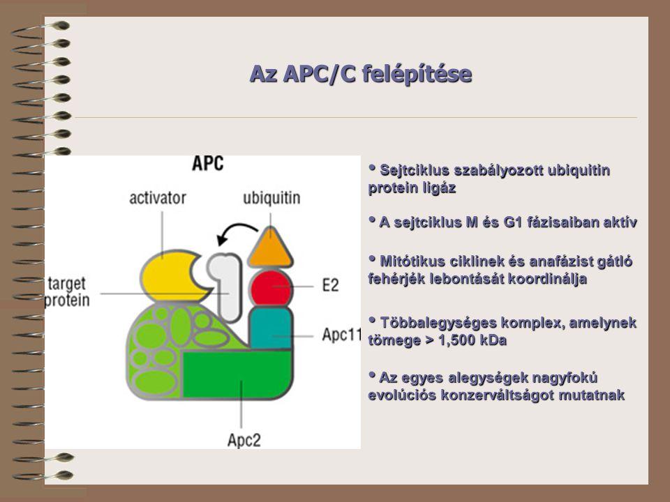 Az APC/C felépítése Sejtciklus szabályozott ubiquitin protein ligáz Sejtciklus szabályozott ubiquitin protein ligáz Mitótikus ciklinek és anafázist gátló fehérjék lebontását koordinálja Mitótikus ciklinek és anafázist gátló fehérjék lebontását koordinálja A sejtciklus M és G1 fázisaiban aktív A sejtciklus M és G1 fázisaiban aktív Többalegységes komplex, amelynek Többalegységes komplex, amelynek tömege > 1,500 kDa Az egyes alegységek nagyfokú evolúciós konzerváltságot mutatnak Az egyes alegységek nagyfokú evolúciós konzerváltságot mutatnak