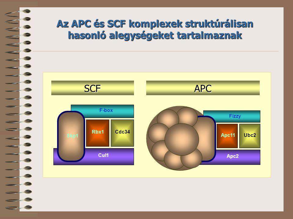 Az APC és SCF komplexek struktúrálisan hasonló alegységeket tartalmaznak Skp1 Cul1 F-box Rbx1Cdc34 Apc2 Fizzy Apc11Ubc2 SCFAPC