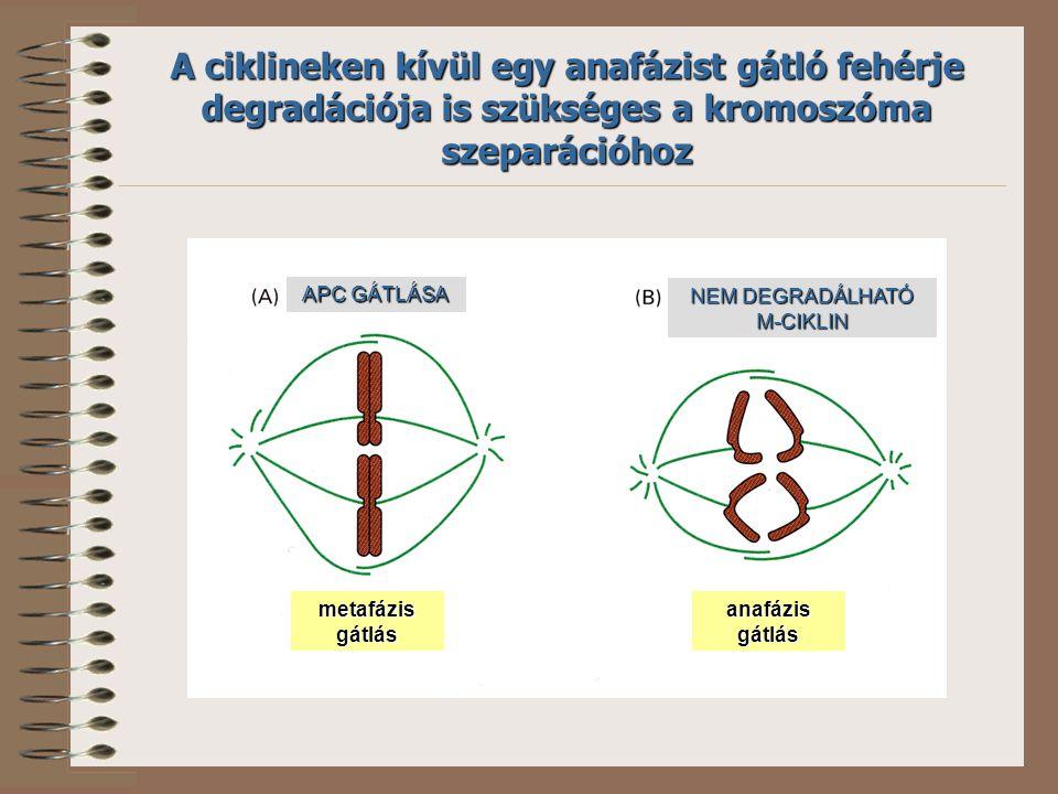 APC GÁTLÁSA NEM DEGRADÁLHATÓ M-CIKLIN metafázisgátlásanafázisgátlás A ciklineken kívül egy anafázist gátló fehérje degradációja is szükséges a kromoszóma szeparációhoz