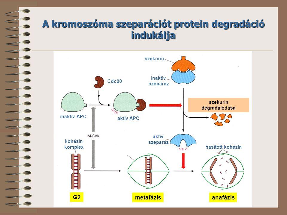 inaktív APC Cdc20 aktív APC szekurin inaktív szeparáz kohézin komplex aktív szeparáz szekurin degradálódása hasított kohézin A kromoszóma szeparációt protein degradáció indukálja G2 metafázisanafázis