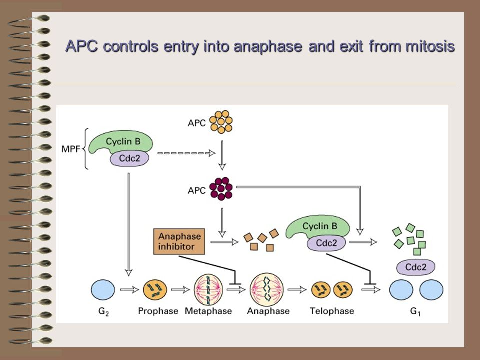 APC controls entry into anaphase and exit from mitosis